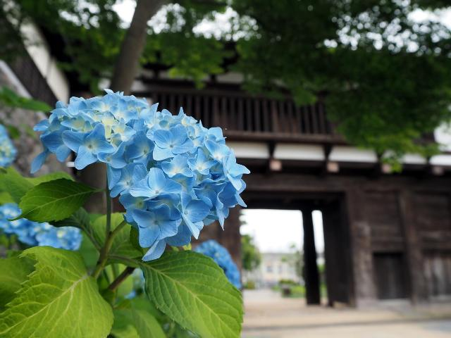 小諸城大手門の紫陽花