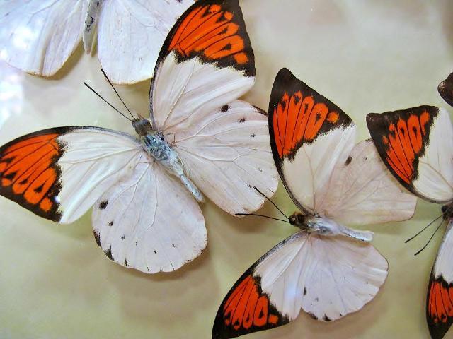 ツマベニチョウの標本