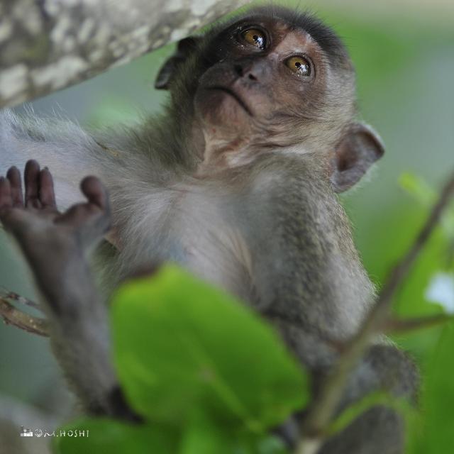 離島の猿    (タイ)
