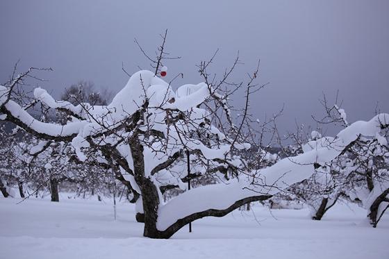 りんご園の積雪