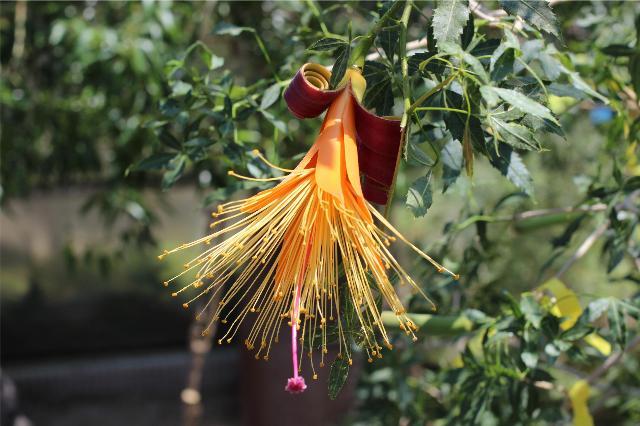 日本で唯一の開花株、フニーバオバブ(Adansonia fony) の開花
