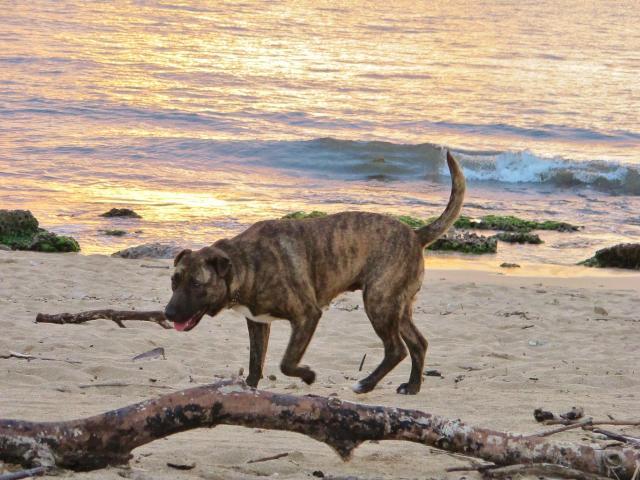 Hawaii Oahu ノースショアの犬