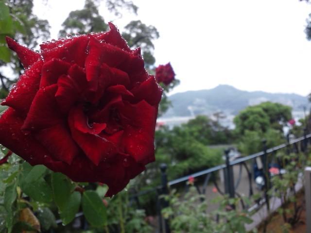 雨上がりのバラと長崎の海