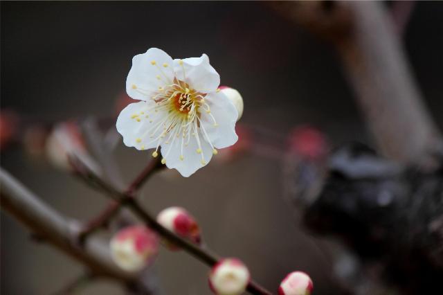 梅咲きました。