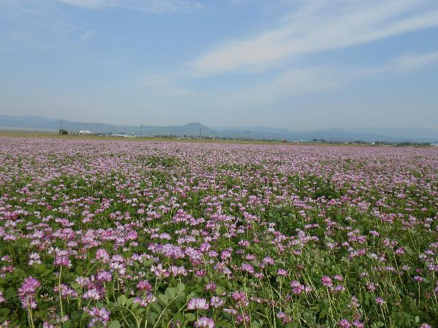 夏日のれんげ草畑