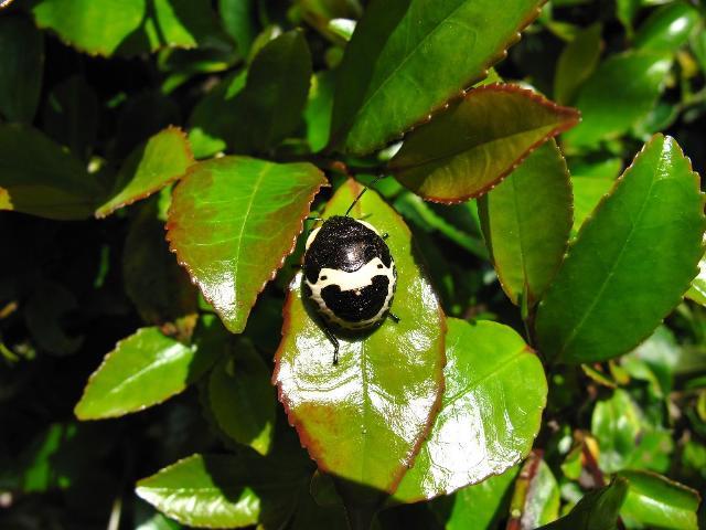 人面虫 アカスジキンカメムシの赤ちゃん