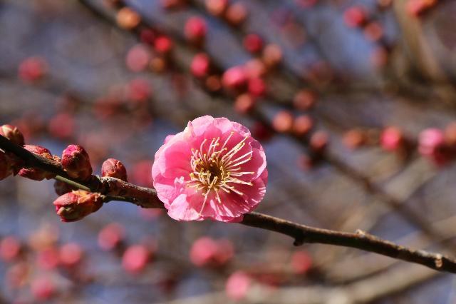 各地で相次で梅の花が開花~優しい春の訪れ