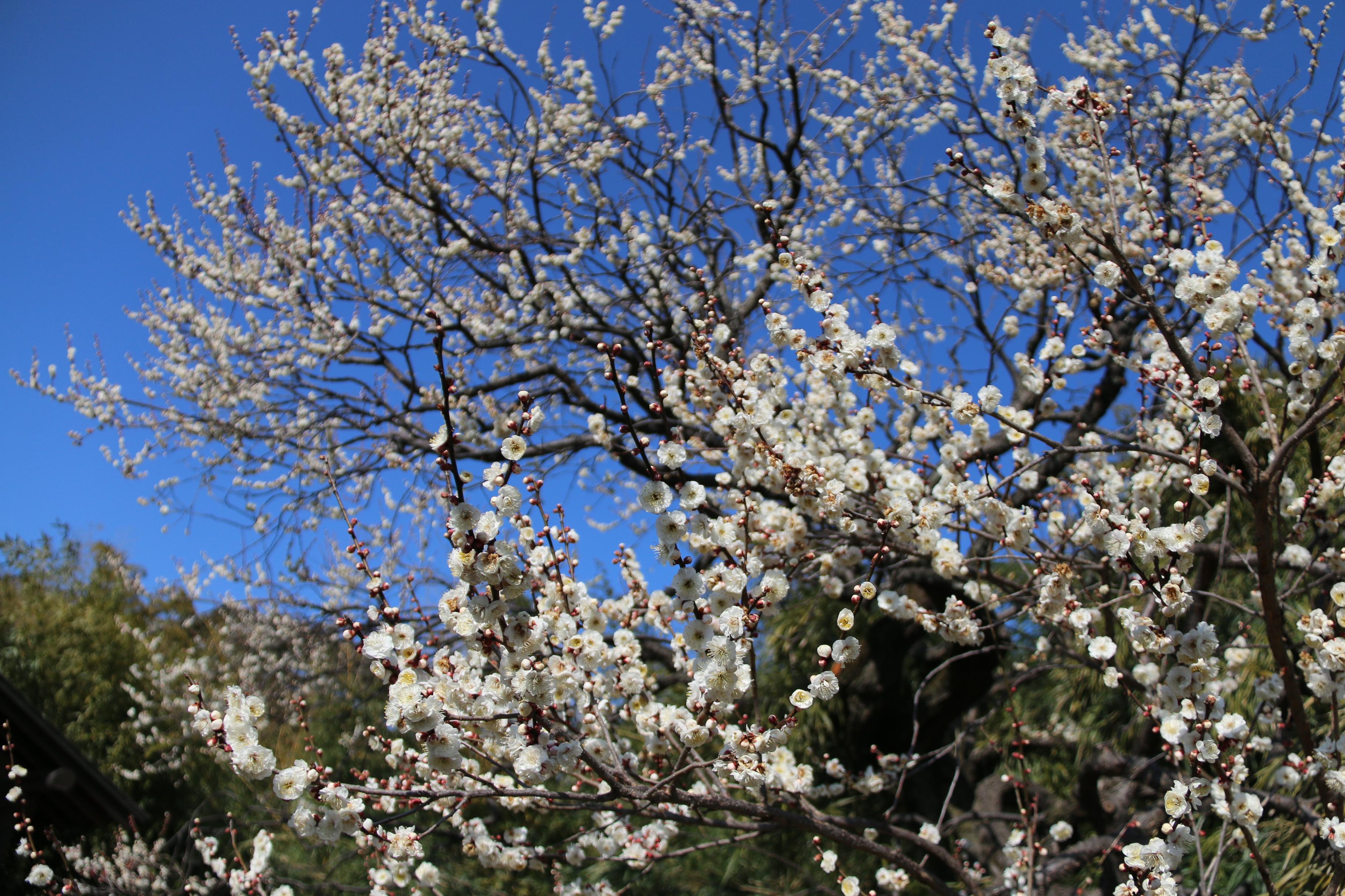 梅の花が見頃となった神代植物公園