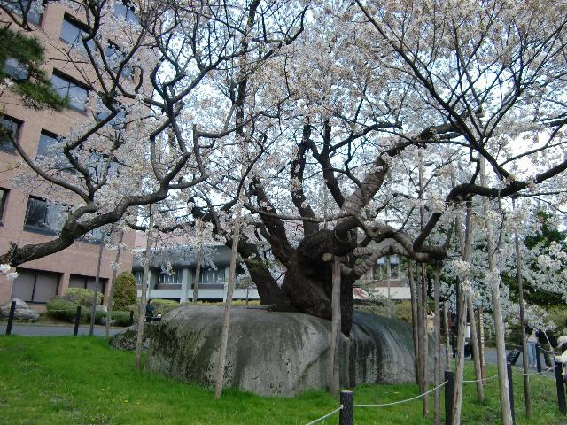 盛岡裁判所前;石割桜