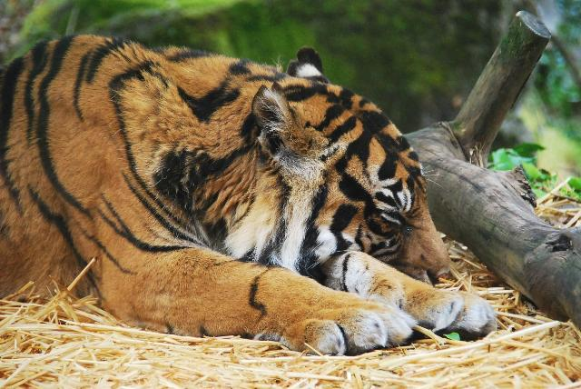 睡眠中のトラ