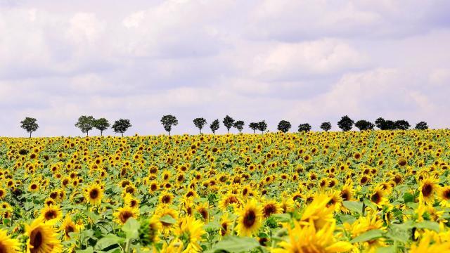 ひまわり畑(フランス)