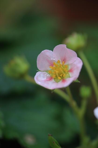 ピンク色のイチゴの花