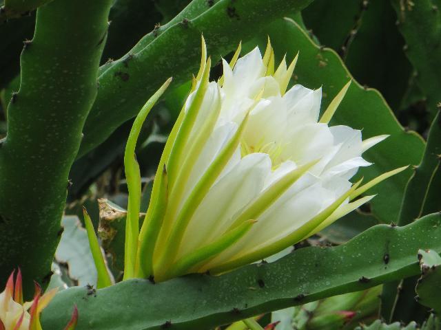 ドラゴンフル-ツ の 花