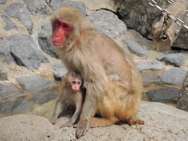 サル の 親子