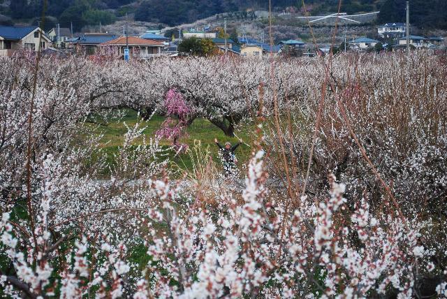 35,000本の梅が満開の曽我梅林