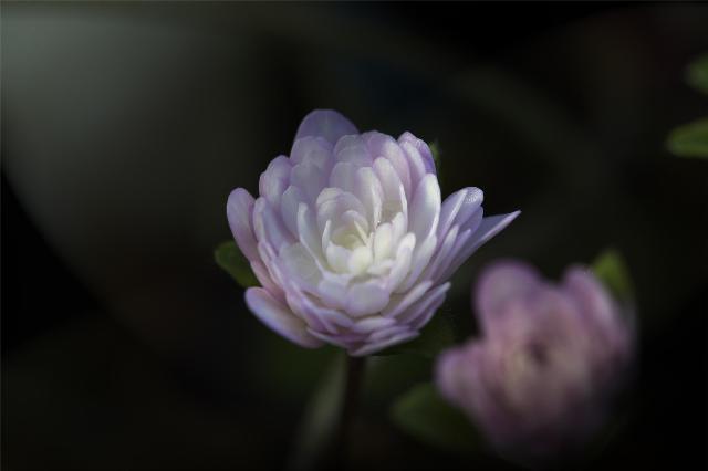 雪割草 -春の光