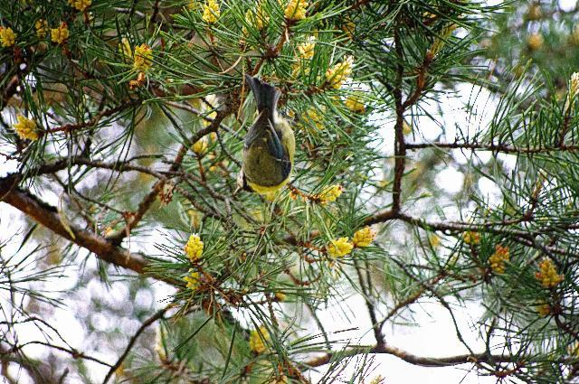 松の木の精霊