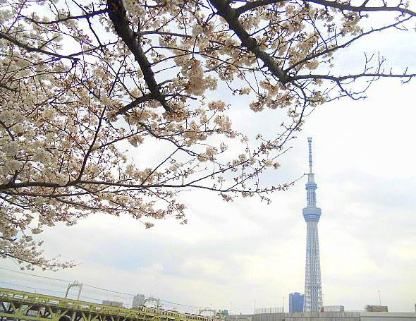 桜とスカイツリーです