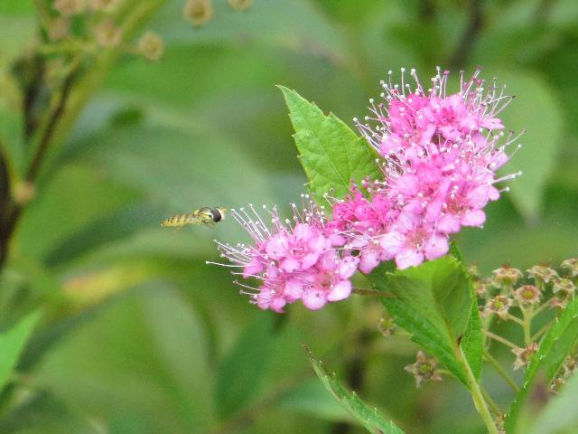 小さな ハチ