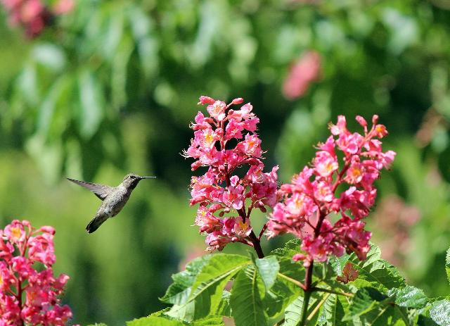 初夏のハチドリ