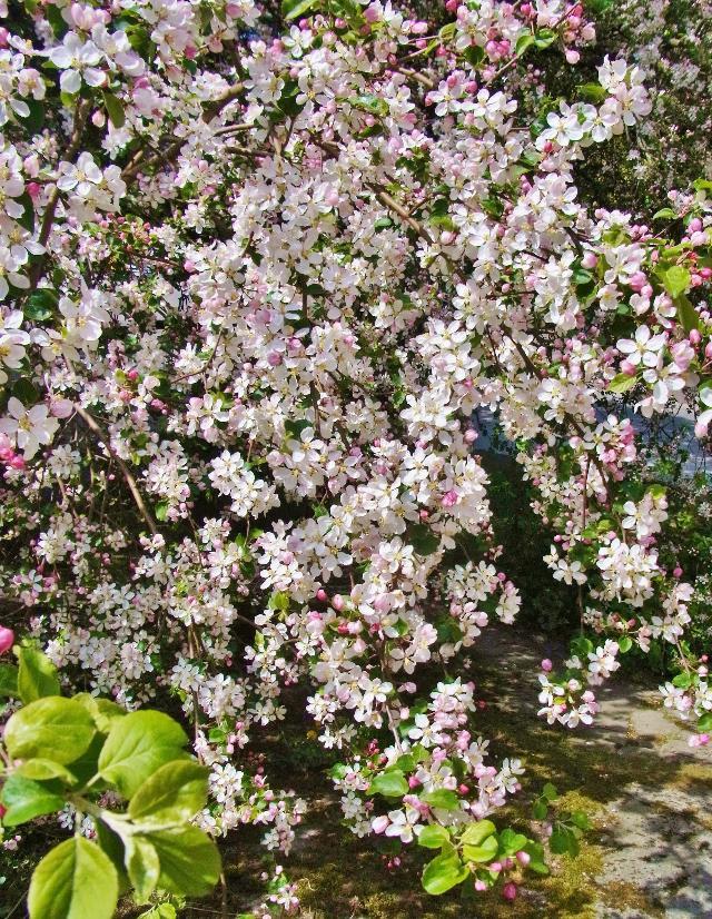 リンゴの花咲く頃