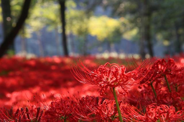 早咲きは一部で満開の曼珠沙華
