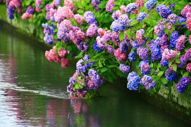 水飲みをする紫陽花