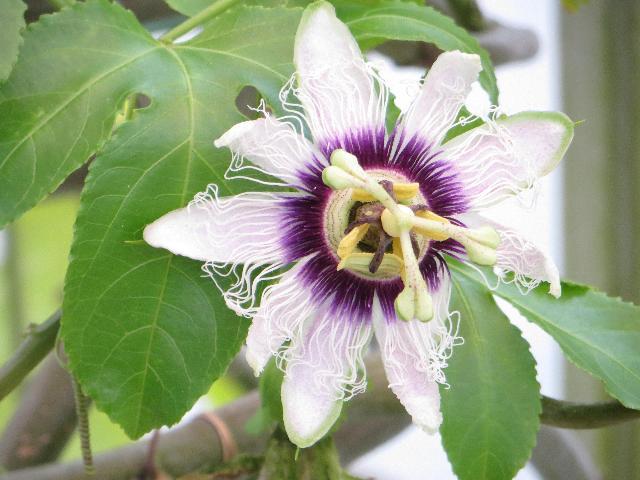 パッションフル-ツ の 花