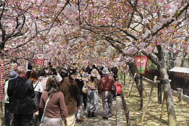 大阪造幣局「桜の通り抜け」
