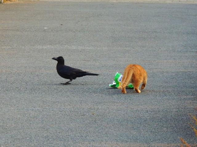 カラスと野良猫の攻防戦