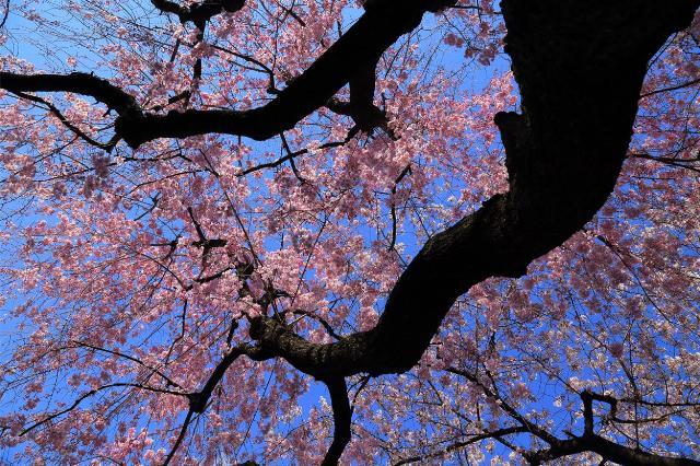 咲く/しだれ桜