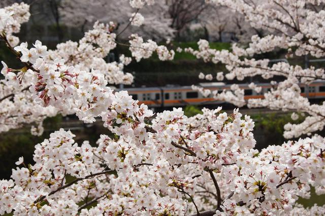 桜と中央線