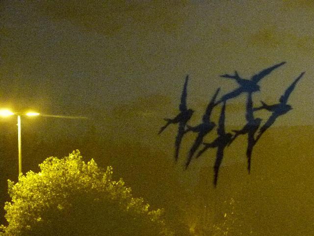 夕刻のツバメ