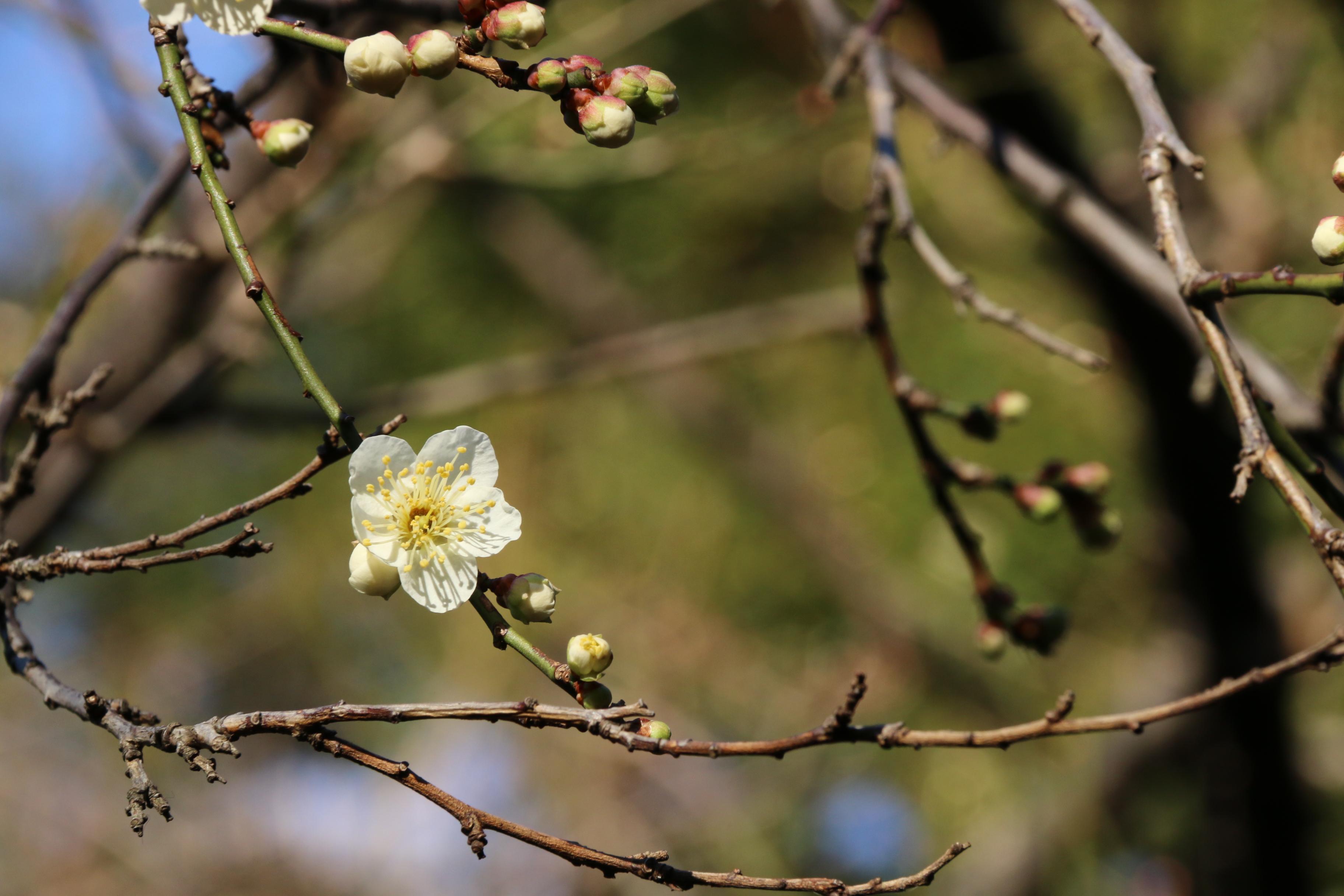 春の足音~梅が開花~北の丸公園