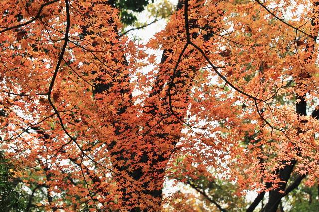 山科疎水の楓