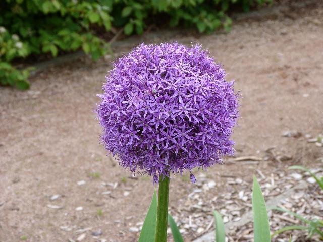 ボールのような目立つ花