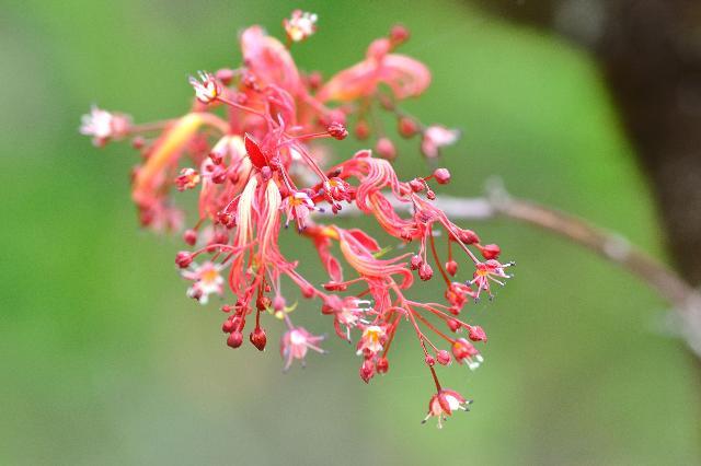 晩春に咲くモミジ