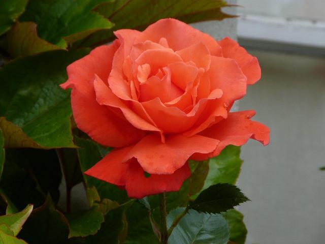 バラが何処の庭でも満開です