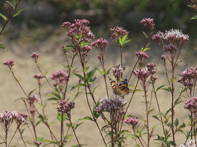 蝶とフジバカマ