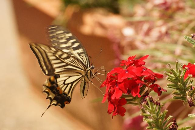 蝶蝶とゼラニューム