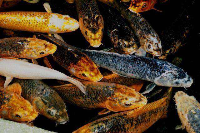 Floating 鯉