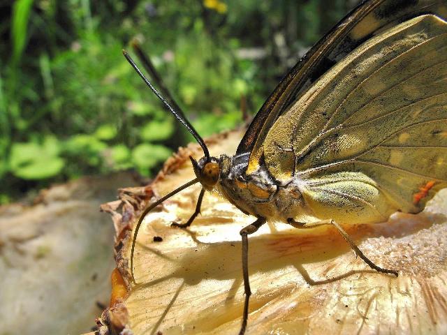 食事中の国蝶オオムラサキ(♀)