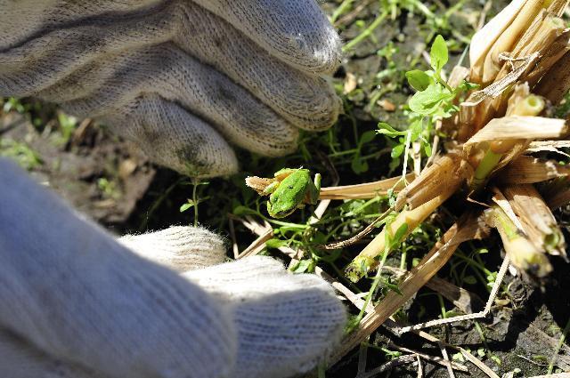 稲の隙間からカエルが!