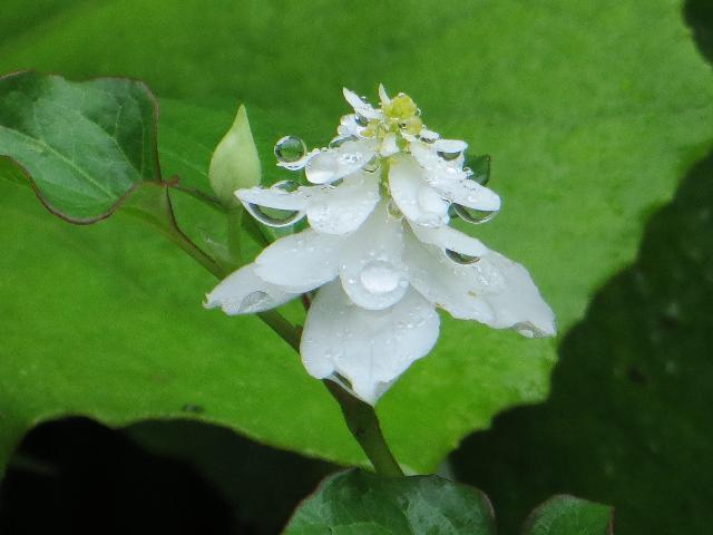 ドクダミ の 花