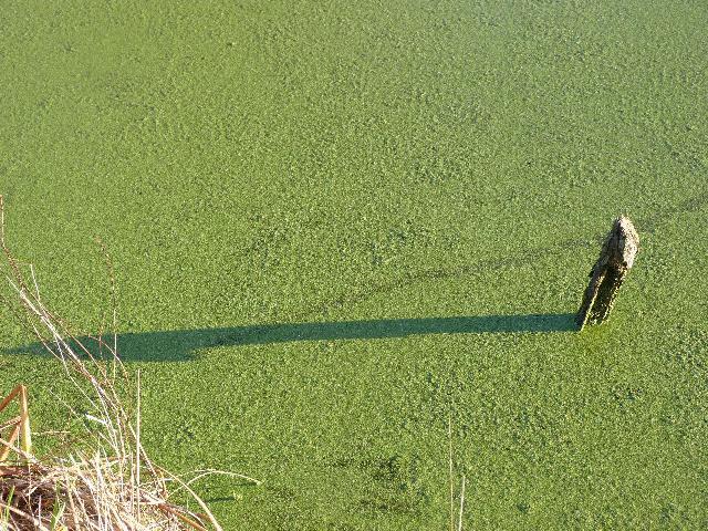 小川の藻に映る長い冬の影