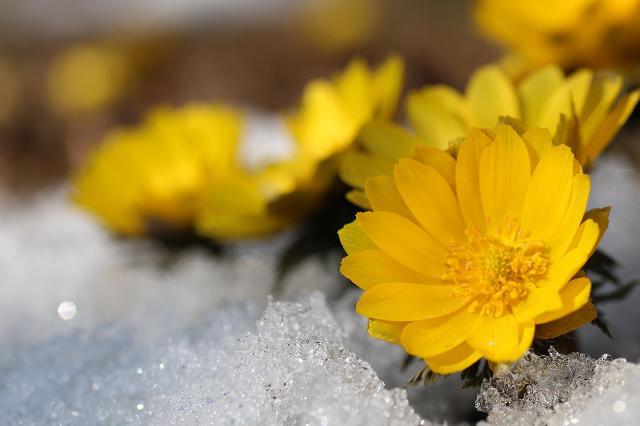雪をかき分けて顔を出した福寿草