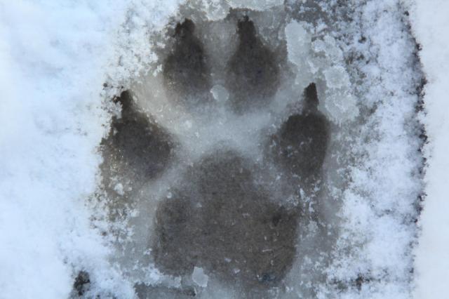オオカミ発見!?
